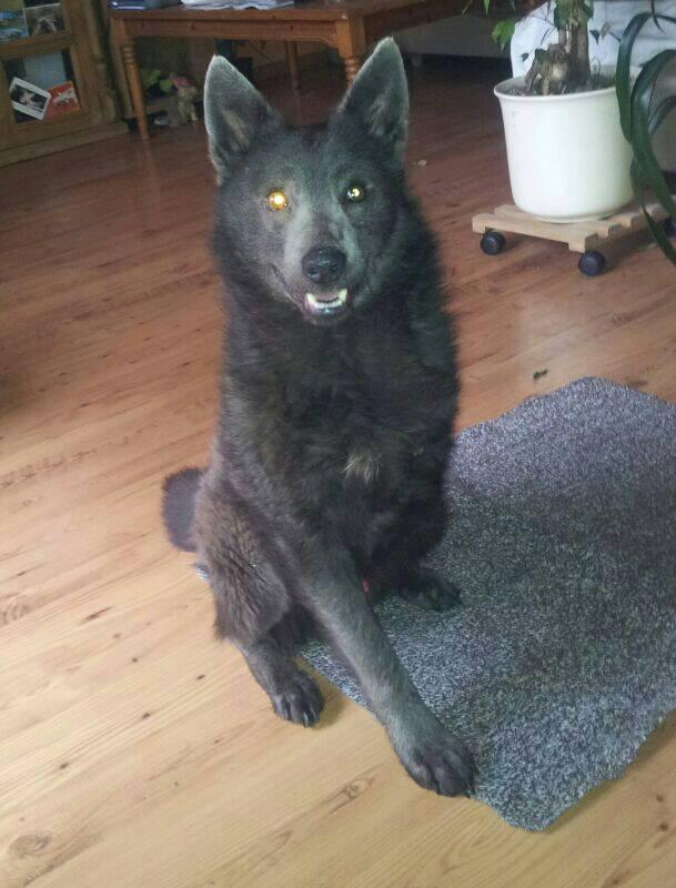 dreibeiniger angsthund in berlin entlaufen